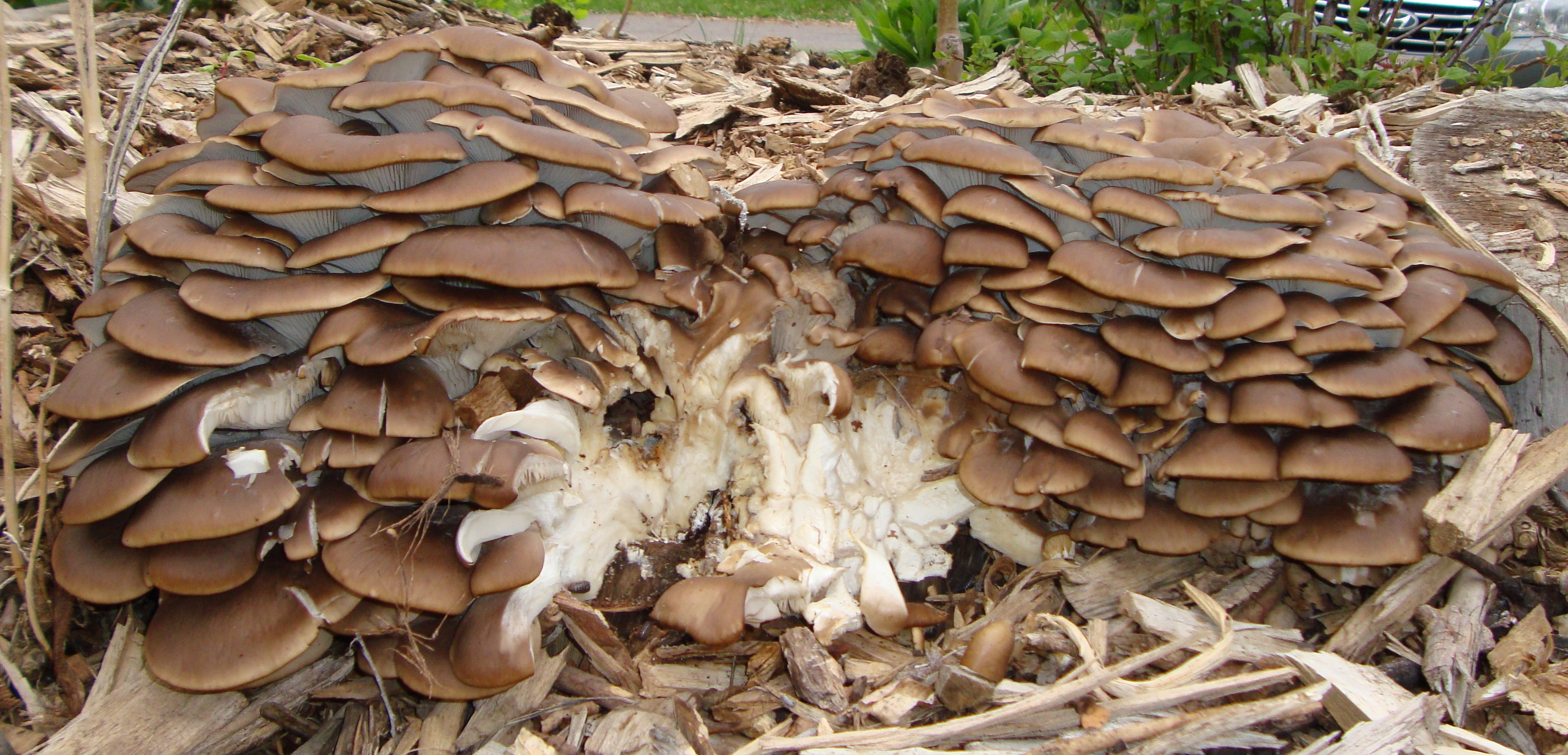 40 lbs of 2014 garden  oyster mushrooms Living Systems Institute Golden Colorado