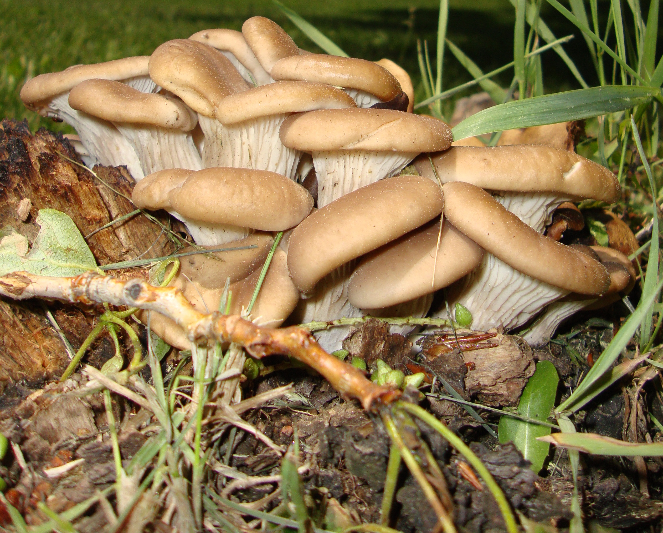 Colorado oyster mushrooms Evergreen 2014